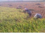 Harga Gabah Di Situbondo Turun, Petani Menilai Pemerintah Gagal Stabilkan Harga