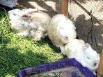 Terjangkit Virus Jamur dan Kutu Puluhan Kelinci di Taman Balaikambang Mati